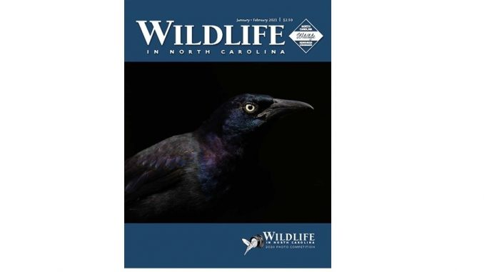 """Uncommon grackle, winning photograph by Matt Cuda, Tobaccoville NC, on the cover of """"Wildlife In North Carolina"""" Jan/Feb 2021 issue. Source NC Wildlife"""