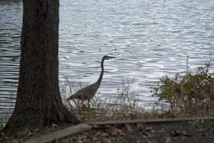 Heron at Falls Lake State Recreation Area. Photo: Donna Campbell Smith