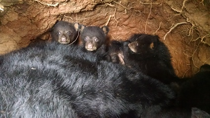 Bear cubs with adult female in ground den. Photo: Colleen Olfenbuttel, NC Wildlife