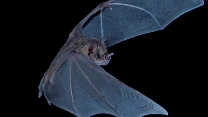 The Jamaican fruit-eating bat (Artibeus jamaicensis) is one of five species that roost in Home Away from Home Cave in Jamaica. Credit: Sherri and Brock Fenton