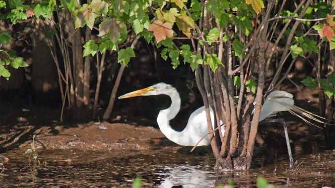 Great white egret in the Alligator River National Wildlife Refuge. Photo: Donna Campbell Smith Photo: Donna Campbell Smith