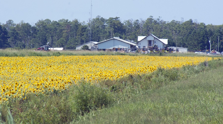 Sunflower crop growing in the Alligator River National Wildlife Refuge. Photo: Donna Campbell Smith