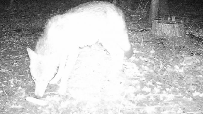 Coyote captured on trail camera, attracted to a bird feeder
