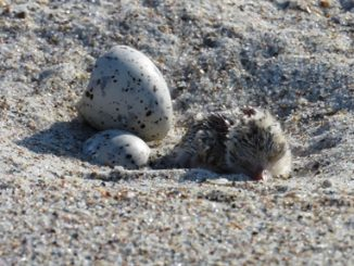 Chick and eggs in beach nest. Source: NC Wildlife, photo by Annika Anderson