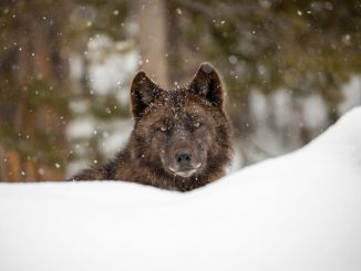 Gray wolf (Canis lupus). Photo courtesy of Jim Peaco, National Park Service