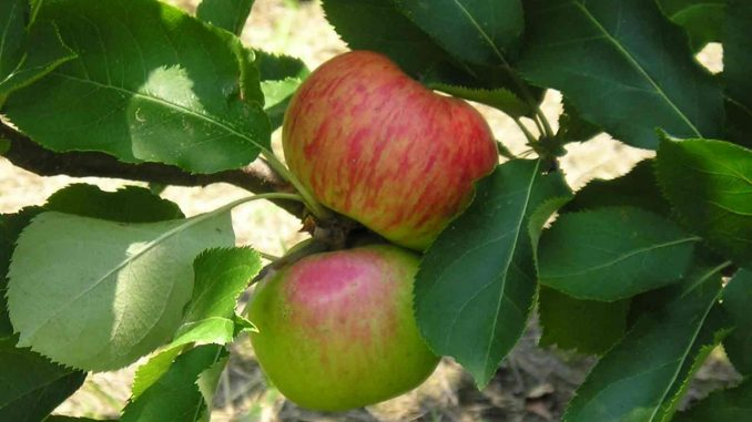 Apples on the tree. Source: Chatham County government