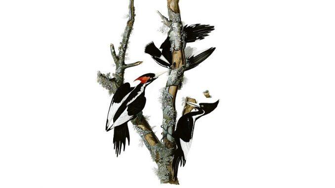 Ivory-billed Woodpecker, now extinct. Drawing by John James Audubon - Birds of America, Public Domain, wikimedia.org
