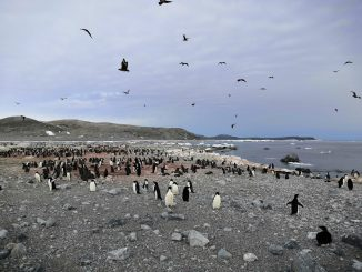 A colony of Adélie penguins in Antarctica. Researchers used the chemistry of penguin poo preserved in these sediments to reconstruct 6,000 years of Antarctic Ocean circulation. Credit: Yuesong Gao